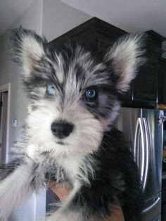yorkie mixed with husky 1000 ideas about schnauzer mix on schnauzers schnauzer dogs and dogs for