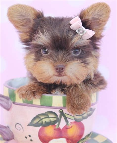 teacup yorkies south florida 385 best images about teddy bears toys and teacups on shichon puppies