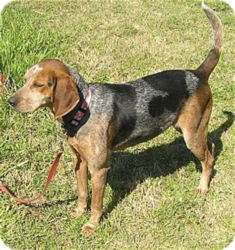 beagle puppies for sale in sc tick coonhound bluetick coonhound treeing walker coonhound mix for sale in