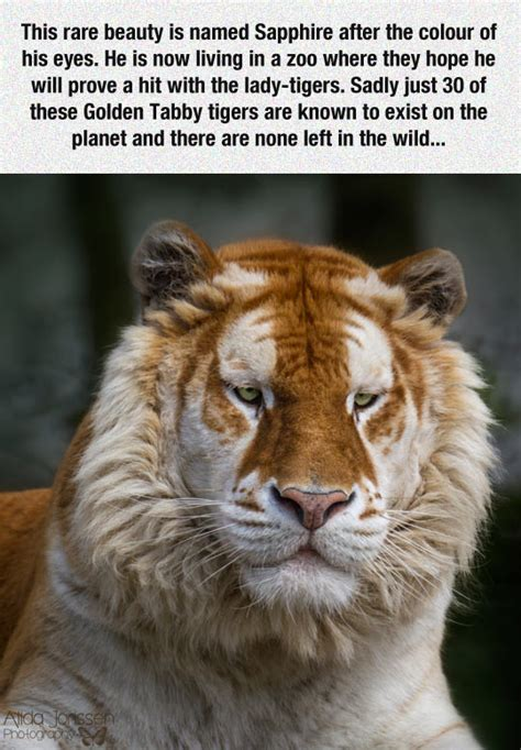 Tabby Meme - golden tabby tiger the meta picture