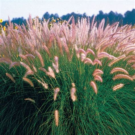 pin by blue ribbon nursery landscaping on crazy for grass pinte