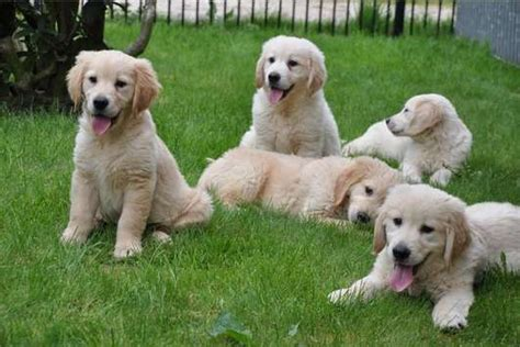 golden retriever breeders edmonton excellent golden retriever puppies for sale adoption from edmonton alberta adpost