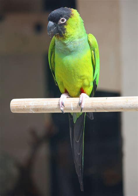 nanday parakeet wikipedia