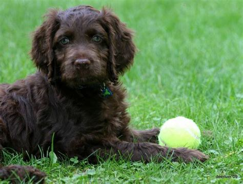 chocolate brown goldendoodle puppies for sale 81 best pet images on