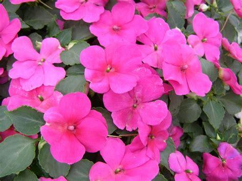 impatiens fiore impatiens impatiens piante annuali balsamina