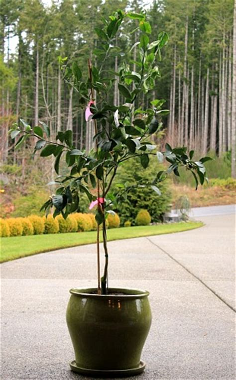 tree container how to plant a meyer lemon tree in a container