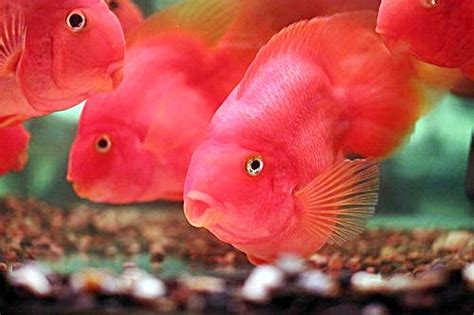 Ikan Parrot Ikan Parrot Akuarium Ikan Hias