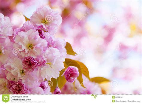 fiori di ciliegia fiori di ciliegia rosa nel frutteto di primavera