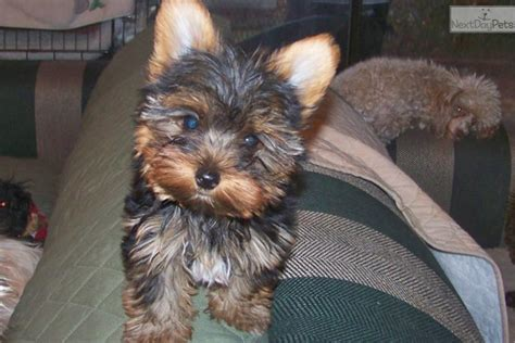 akc yorkie breeders in nc dogs and puppies for sale and adoption oodle marketplace