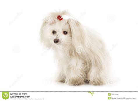 white maltese puppy white maltese stock photo image 39075448