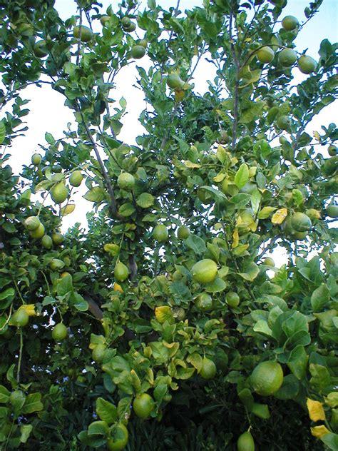 xtremehorticulture   desert   plant lemons