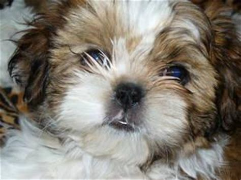 epupz shih tzu shih tzu maltese puppies for sale uk