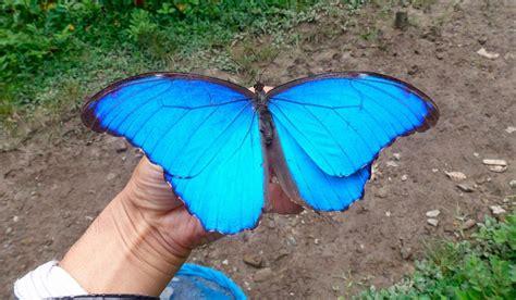 imagenes mariposas turquesas mariposas morpho azul