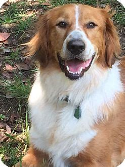 golden retriever rescue richmond va richmond va golden retriever mix meet beatrice courtesy listing a for adoption