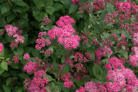 flowering shrubs for new proven winners 174 colorchoice 174 flowering shrubs four