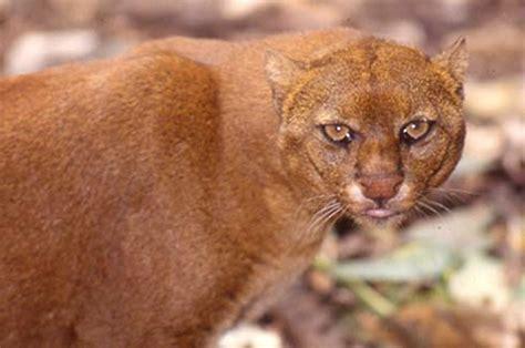 imagenes jaguarundi mundo animal jaguarundi o puma felis yagouaroundi