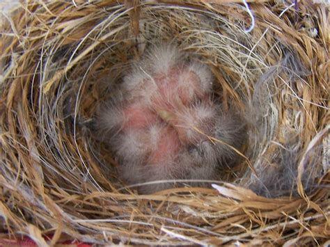 house finch baby birds finches baby birds images