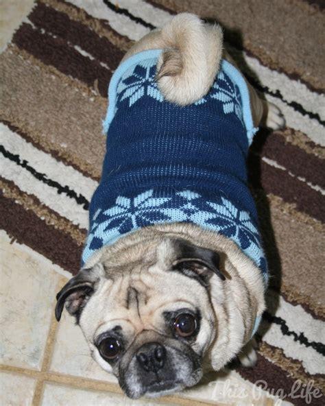 pug dress pug dresses up this pug