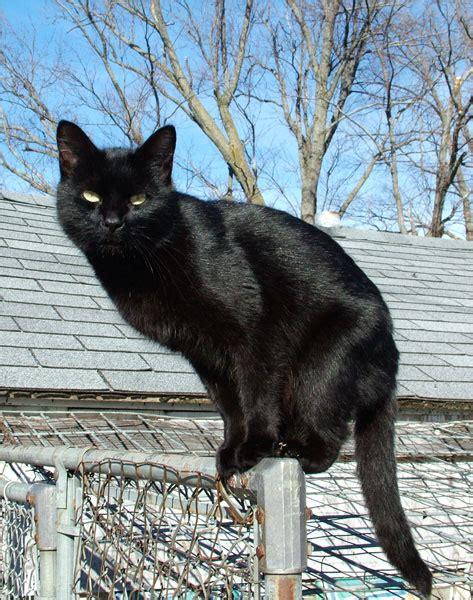 a black cat the superstition of black cats cedar holistic pet