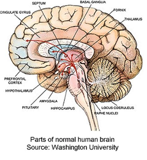 human brain sections cross section human brain 2 flickr photo sharing