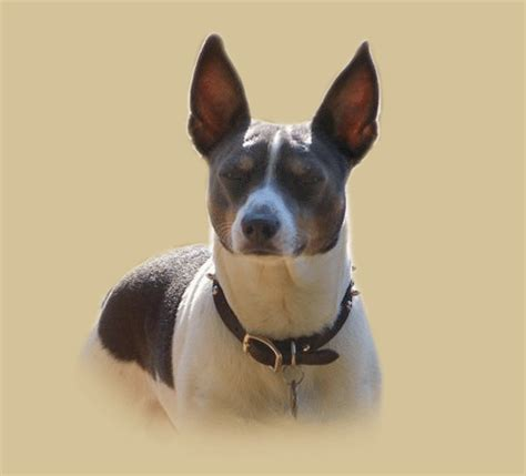 Rat Terrier Shedding by Rat Terrier Temperament Personality Breeds Picture