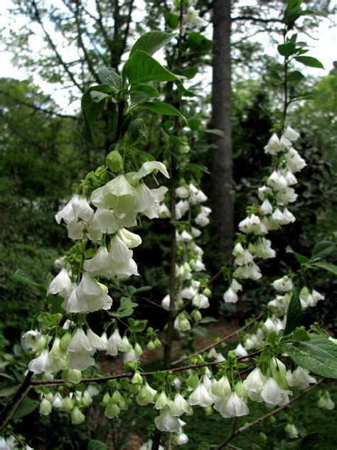 bells trees silverbell tree pictures photos facts on silverbell