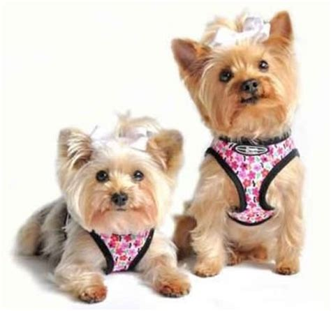 harness for small dogs padded harness adjustable padded get free image about wiring diagram