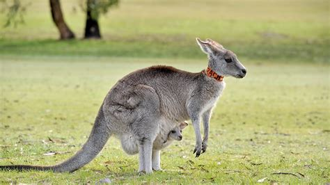 google images kangaroo kangaroo wallpaper android apps on google play