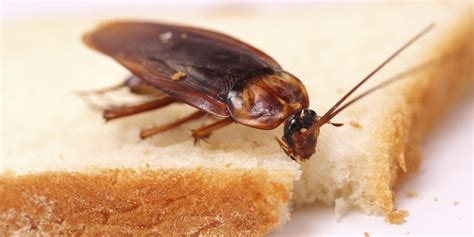 roaches in one pest solutions