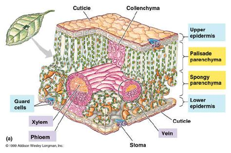 cross section of a leaf parts and functions fhs bio wiki photosynthesis leaf and pigments