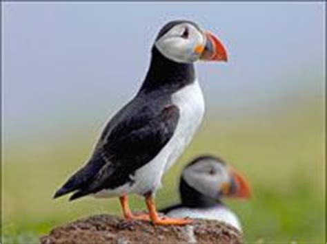 puffin animals town