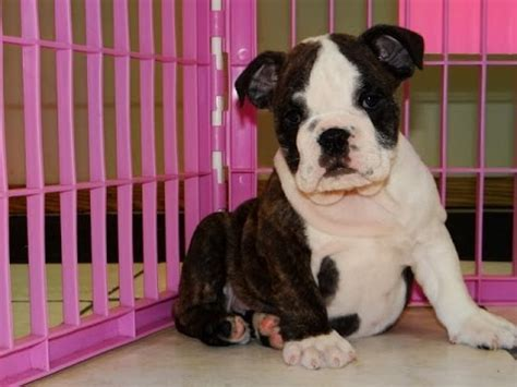 puppies for sale in mcallen tx frenchton puppies for sale in houston tx mcallen mckinney mesquite plano