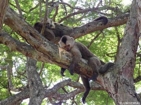 imagenes comicas de monos las 25 mejores ideas sobre monos capuchinos en pinterest