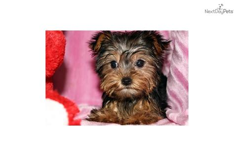 tiny yorkies micro terrier puppy for sale breeds picture