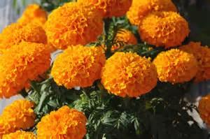 King Size Bedding Yellow Ameriseed Marigold Usa King Of Marigolds Christy Orange
