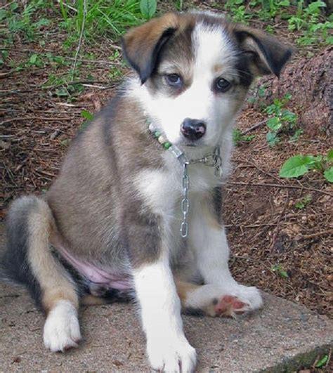 border collie husky mix puppies for sale husky border collie mix puppies for sale zoe fans baby animals