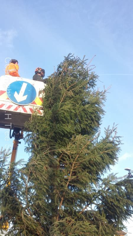 pruning christmas trees saving the day pruning the 2014 canvey tree tree surgeons essex t h tree services