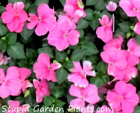 28 best common annual flowers common annual garden flowers decorating clear bear creek