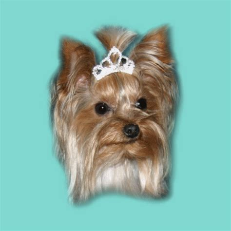 yorkies time yorkie teacup size