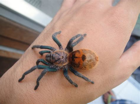chromatopelma cyaneopubescens by fang2fang on deviantart