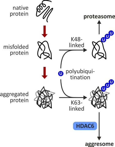 protein turnover of histone deacetylase 6 hdac6 in protein turnover