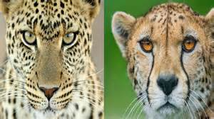 Cheetah And Leopard And Jaguar Differences Leopard Cheetah The Differences