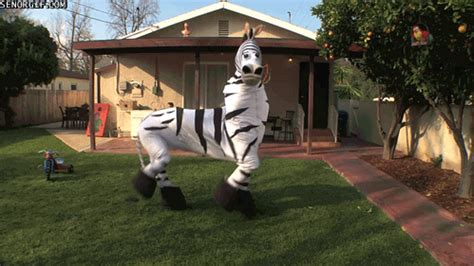 zebra gifs find & share on giphy