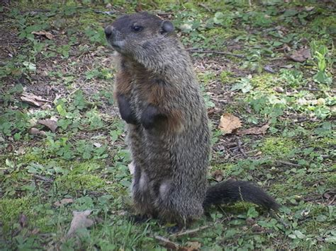 groundhog day up culverpaper groundhogs and weather