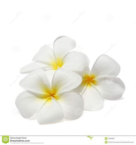 White Free - araliya flower clipart clipartsgram