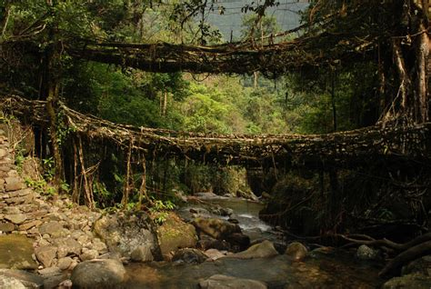 Living Bridges by Picture Of The Day Living Root Bridges Of Meghalaya