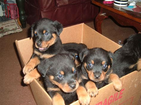 free puppy rottweiler puppies for sale trojmiasto poland free classifieds muamat