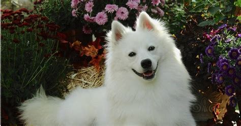 american eskimo dog hd wallpapers high definition  background
