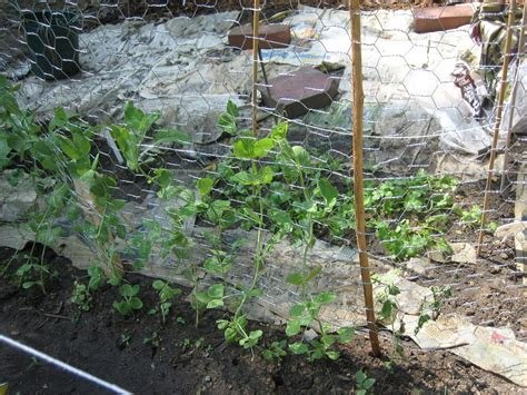 Pea Trellis Ewa In The Garden 15 Ideas Of Diy Pea Trellis