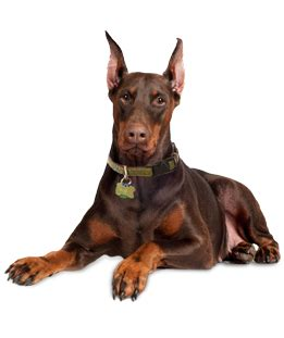 doberman puppies for adoption doberman pinscher puppies for adoption breeds picture